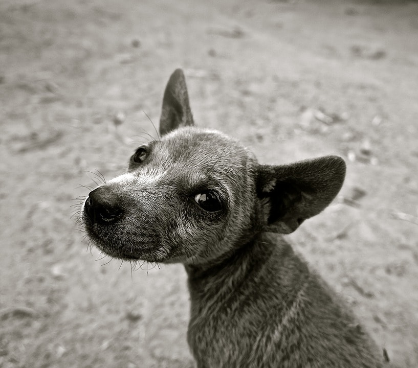dog-589002_960_720-min