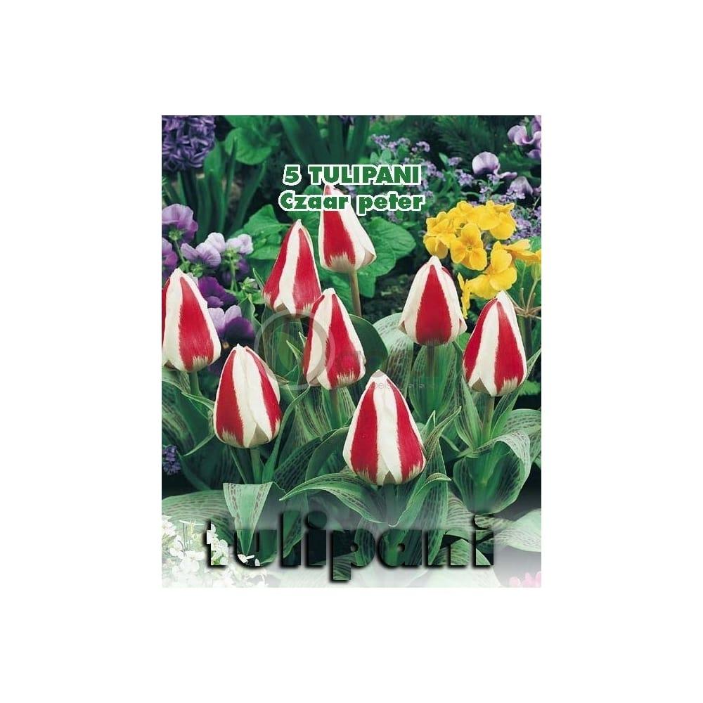 lalele-botanice-zaar-peter-floare-alb-rosu-inaltime-planta-30-cm-green-paradise-2-min