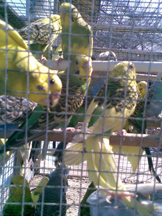 papagali-perusi